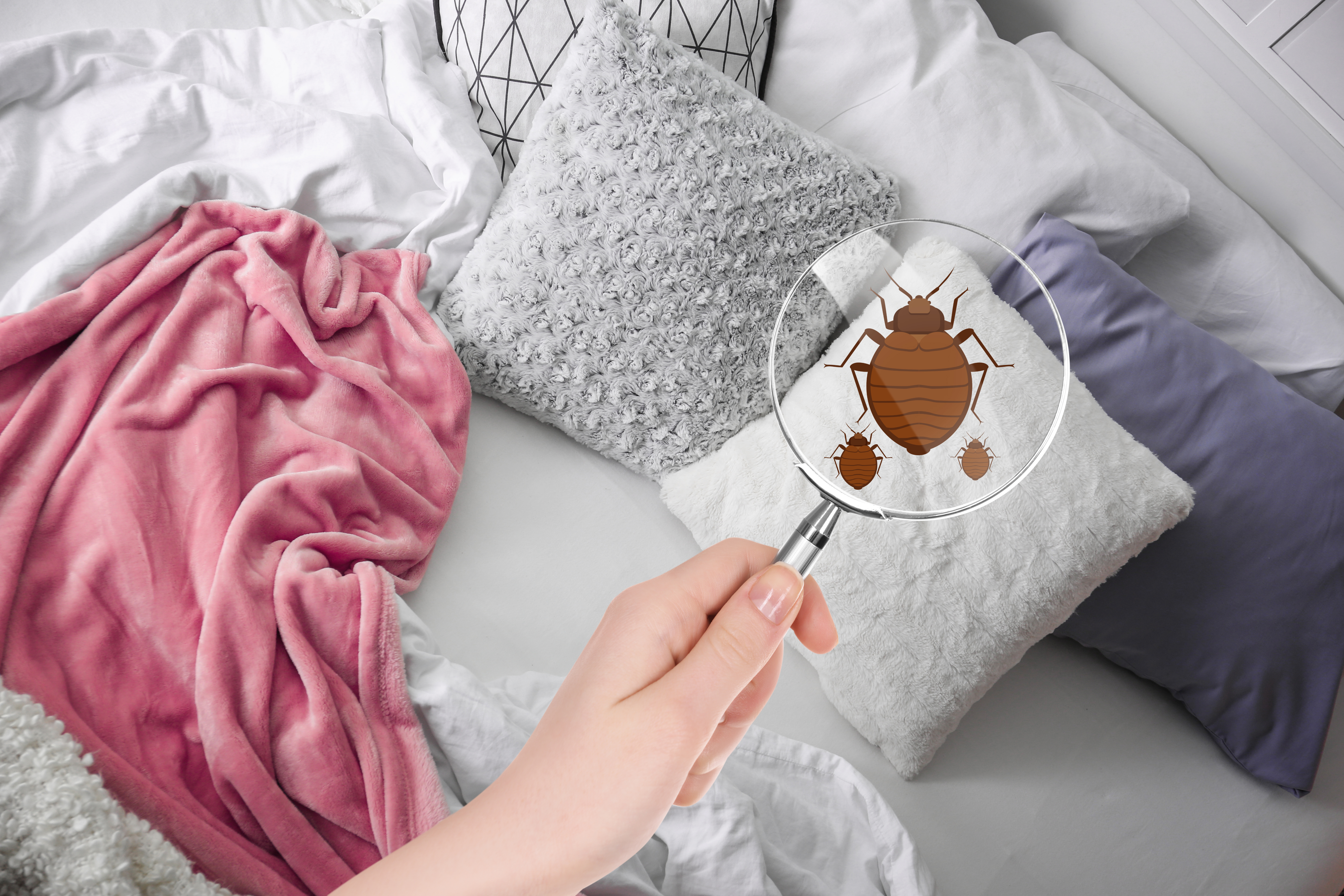 Bed bug seen using a magnifying glass