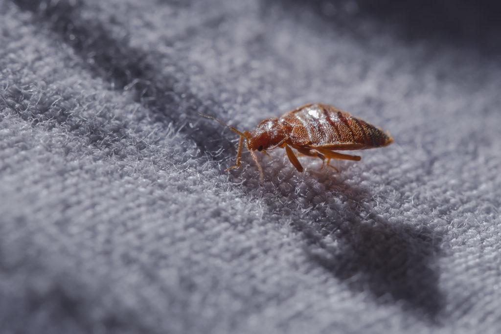 Beg bug